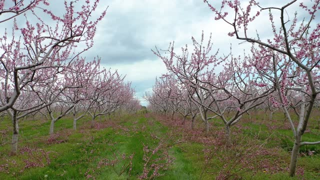 blooming orchard in springtime at niagara falls area, grimsby and vineland, canada - niagara falls stock videos & royalty-free footage