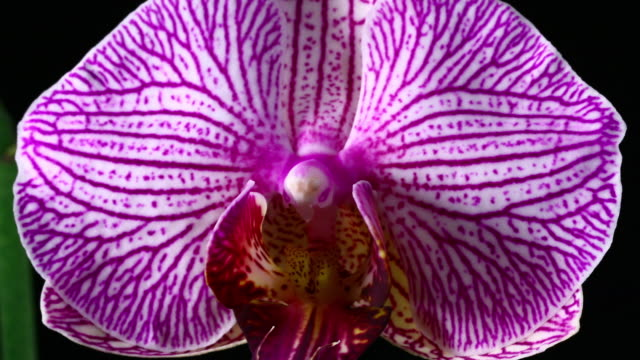 blooming orchid phalaenopsis 4k - tropical flower stock videos and b-roll footage