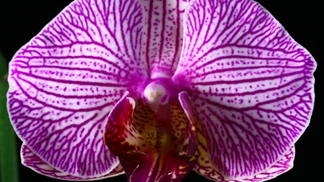Blooming Orchid Phalaenopsis 4K
