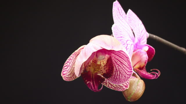 blooming orchid phalaenopsis - orchid stock videos & royalty-free footage
