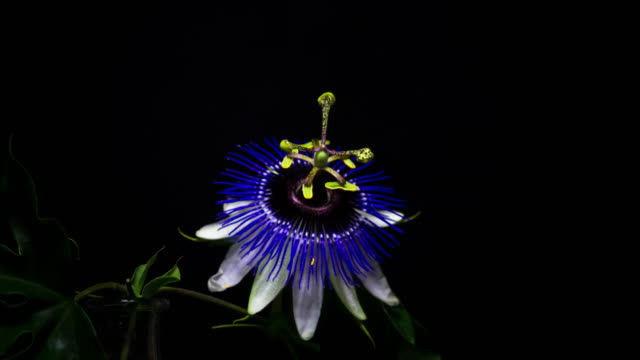 blooming passion flower. 4k - vine stock videos and b-roll footage