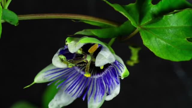 blommande passion flower tid förfaller - passionsfrukt bildbanksvideor och videomaterial från bakom kulisserna