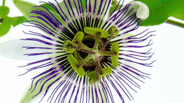 blooming passion flower - life cycle stock videos & royalty-free footage