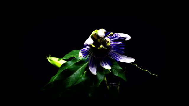 vidéos et rushes de blooming fleur de la passion - lis