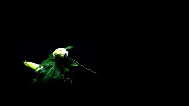 花パッションフラワー - つる草点の映像素材/bロール