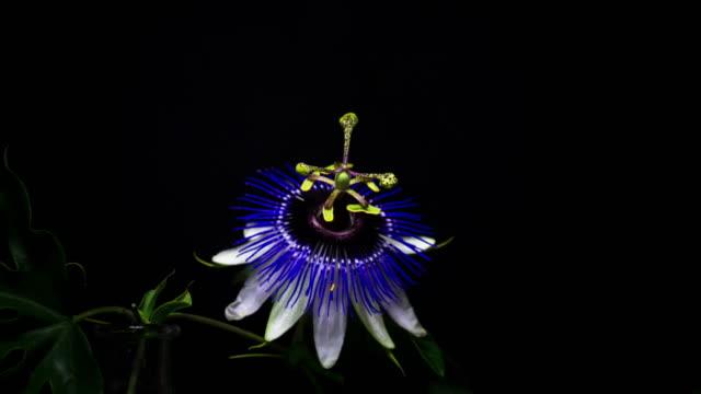 花パッションフラワー - しおれている点の映像素材/bロール