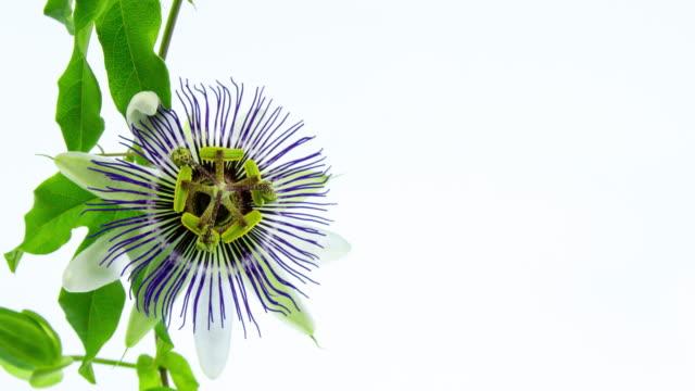 blommande passion flower - passionsfrukt bildbanksvideor och videomaterial från bakom kulisserna
