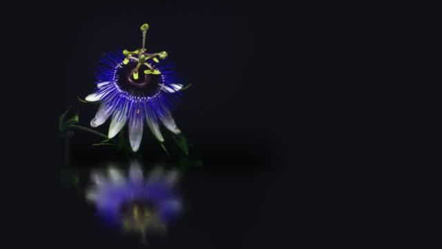 blommande passion flower med spegel vatten reflektion - passionsfrukt bildbanksvideor och videomaterial från bakom kulisserna