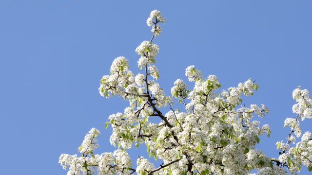 blooming pear flower swinging in the wind - full stock videos & royalty-free footage