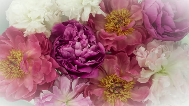 blooming peony flowers. elegant vintage colors. - softness stock videos & royalty-free footage