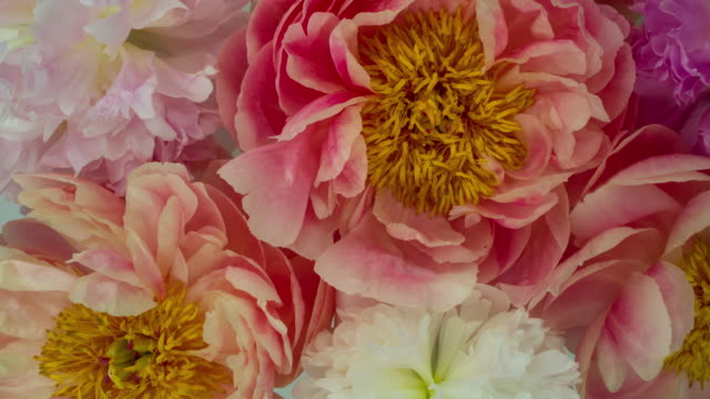 blooming peony flowers. soft pastel colors. - pastel stock videos & royalty-free footage