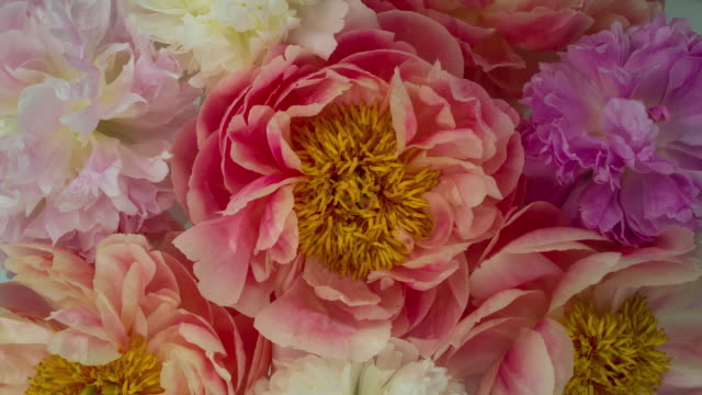 blooming peony flowers. soft pastel colors. - floral pattern stock videos & royalty-free footage