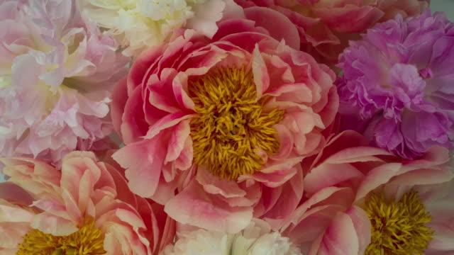 stockvideo's en b-roll-footage met bloeiende bloemen van de pioenroos. zachte pastel kleuren. - bloemenmotief