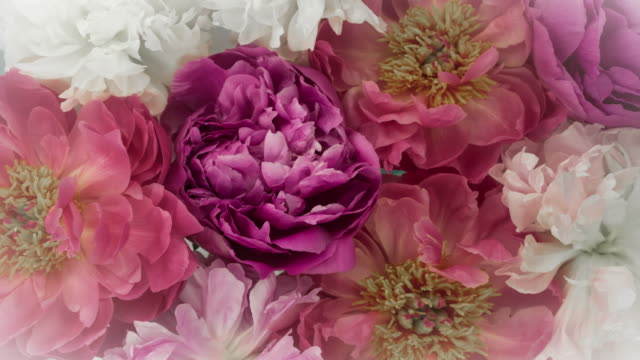 Blooming Peony Flowers. Soft Pastel Colors. Zoom Out.