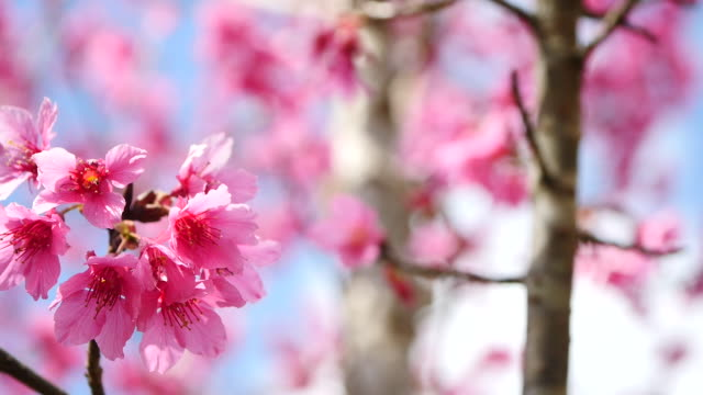 blooming pink cherry branch - twig stock videos & royalty-free footage