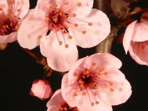 vídeos y material grabado en eventos de stock de cu t/l blooming pink crabapple blossoms  - pistilo