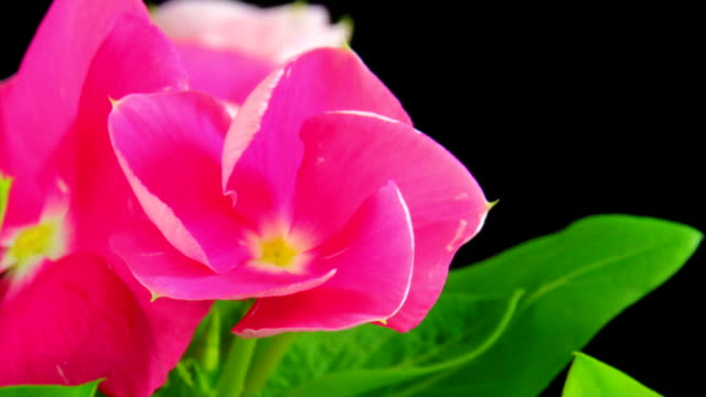 blooming pink flower - catharanthus rosedus - bud stock videos and b-roll footage