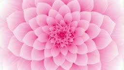 Blooming Pink Flower. Seamless Looped.