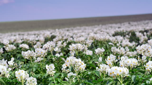 blooming potato plants in early summer - root vegetable stock videos and b-roll footage