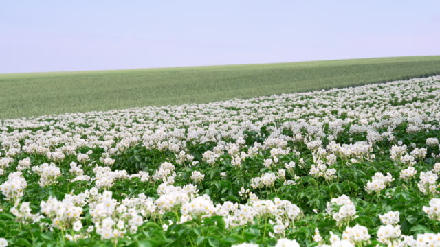 blooming potato plants in early summer - germany stock videos & royalty-free footage