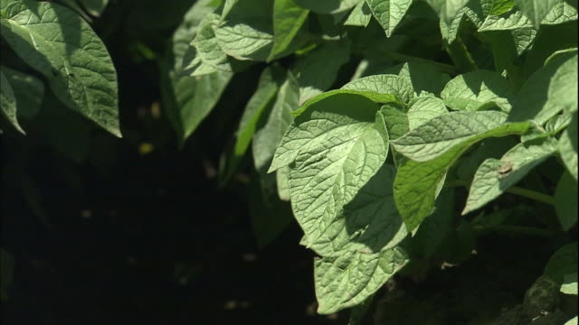 blooming potato plants sway in a breeze. - raw potato stock videos & royalty-free footage