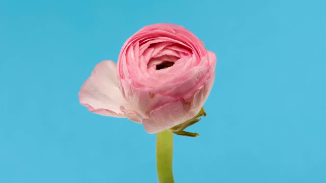 stockvideo's en b-roll-footage met blooming ranunculus - ranonkel