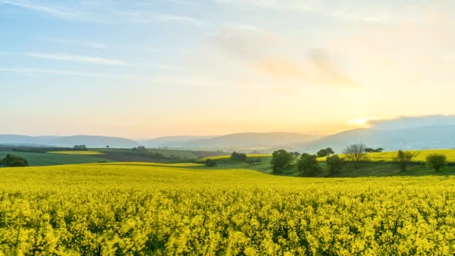 vídeos de stock e filmes b-roll de blooming rape field in spring at sunrise, miltenberg, franconia, bavaria, germany - 30 segundos ou mais