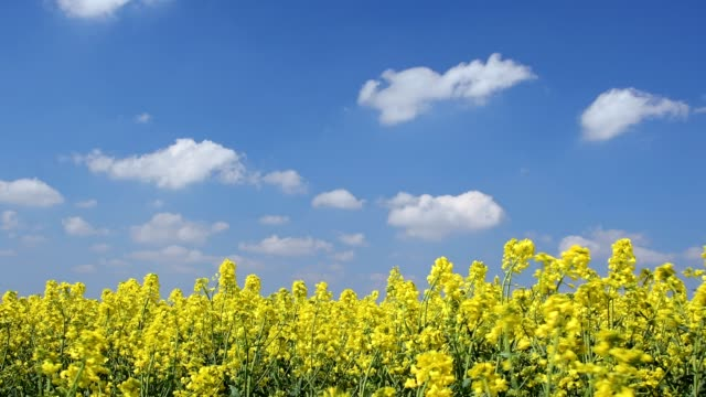 blooming rape field in spring, franconia, bavaria, germany - yellow stock videos & royalty-free footage