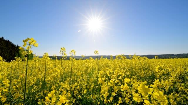 blooming rape field with sun in spring, gottersdorf, walldürn, odenwald, baden-württemberg, germany - oilseed rape stock videos & royalty-free footage