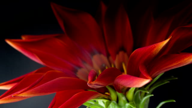Blooming red flower on a black background