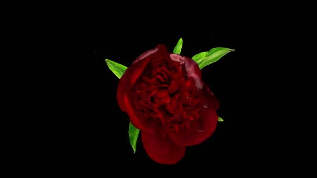 開花赤ピオニー - 一輪の花点の映像素材/bロール