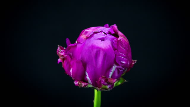 Blooming Red Peony
