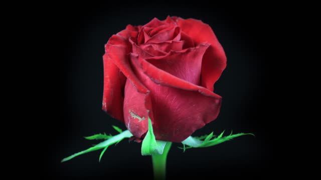 Blooming Red Rose 4K