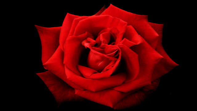 stockvideo's en b-roll-footage met blooming red rose on a black background - bloeien tijdopname