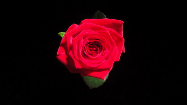 hd time-lapse: blooming red rose - single object stock videos & royalty-free footage