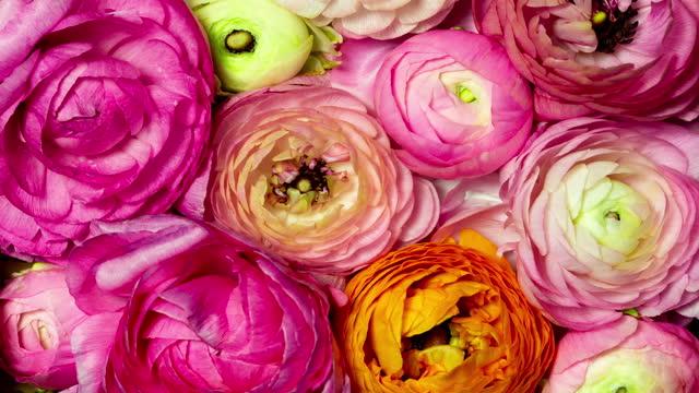 blooming romantic pink flowers - ranunculus stock videos & royalty-free footage