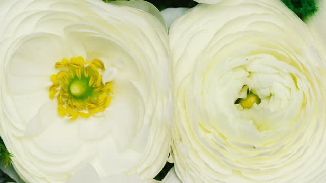 blooming romantic white flowers - ranunculus stock videos & royalty-free footage