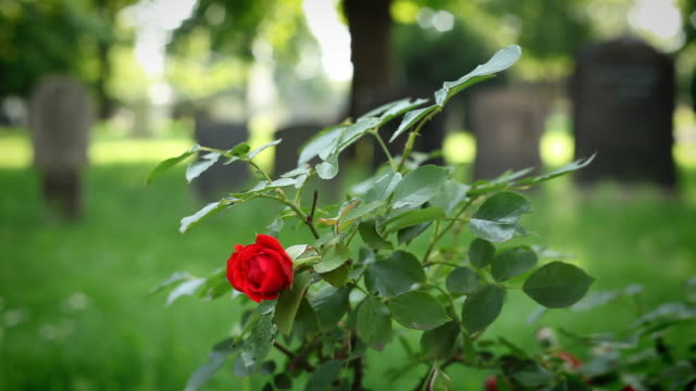 Blooming Rose in a cemetery