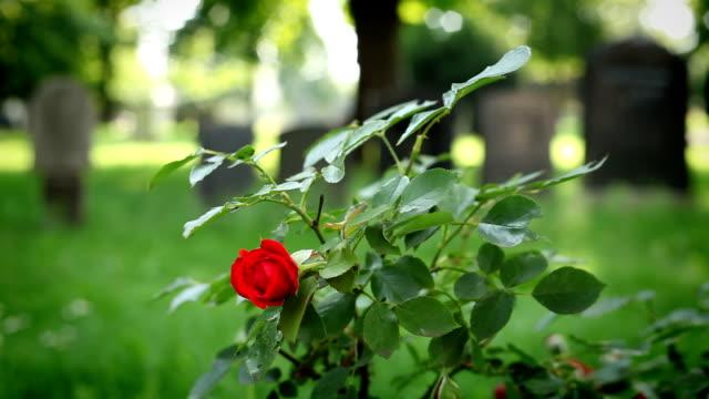 vídeos de stock, filmes e b-roll de florescendo rosas em um cemitério - sátira