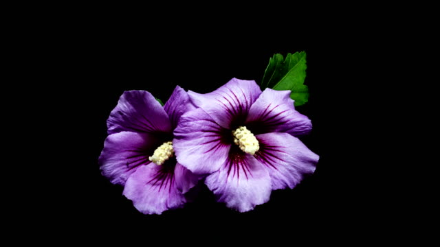 blooming rose of sharon (hibiscus syriacus) time-lapse / gyeonggi-do, south korea - black background stock videos & royalty-free footage