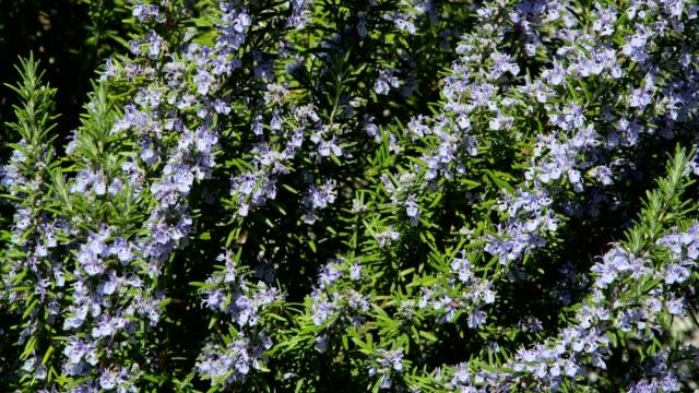 blooming rosemary in spring - ローズマリー点の映像素材/bロール