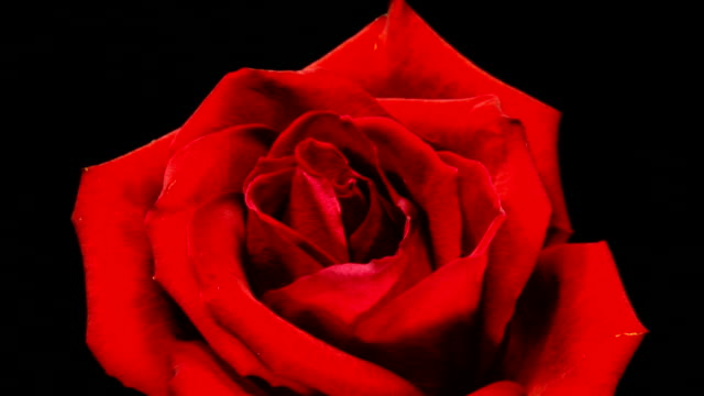 stockvideo's en b-roll-footage met blooming roses hd - dood begrippen