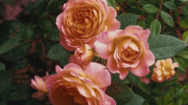 blooming roses (4k time lapse) - blume stock-videos und b-roll-filmmaterial