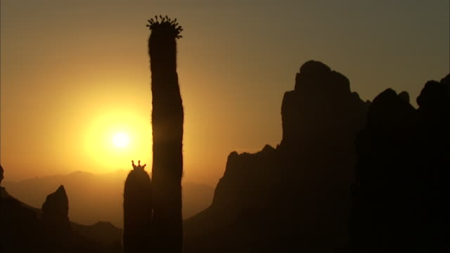 a blooming saguaro cactus in the setting sun - cactus sunset stock videos & royalty-free footage