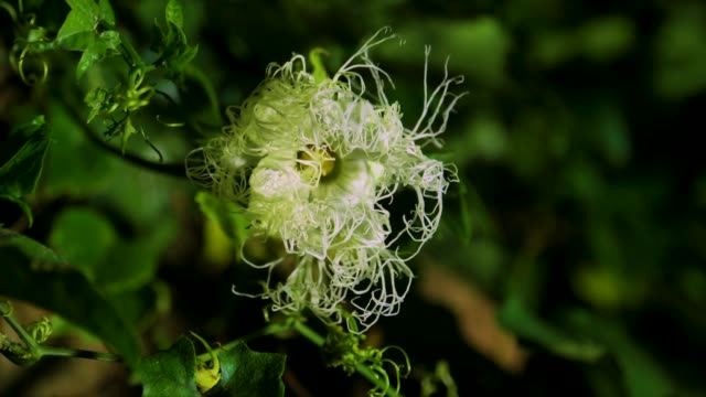 blooming scene of mongolian snakegourd flower, gangwon province, south korea - blütenblatt stock-videos und b-roll-filmmaterial