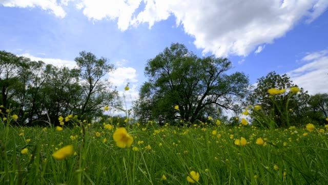 vídeos de stock e filmes b-roll de blooming spring meadow, spessart, bavaria, germany - ranunculus asiaticus