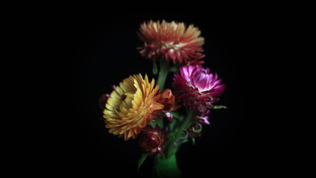 Blühende Strawflowers