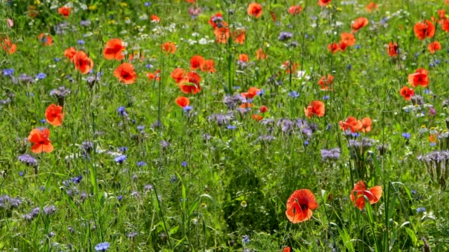 blooming summer meadow with poppy, germerode, werra-meissner district, hesse, germany - vild blomma bildbanksvideor och videomaterial från bakom kulisserna