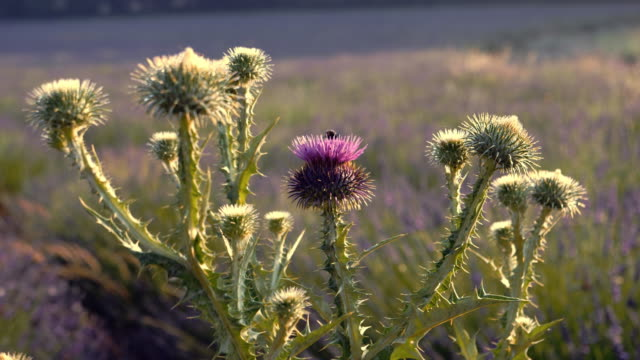 blooming thistle - thistle stock videos & royalty-free footage