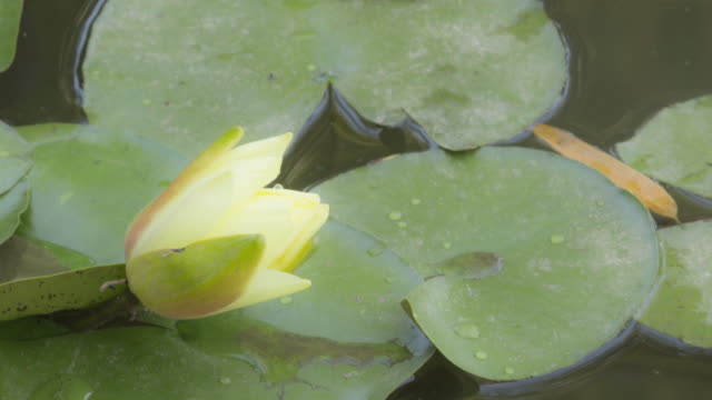 blooming time lapse of water lilly - lily stock videos & royalty-free footage